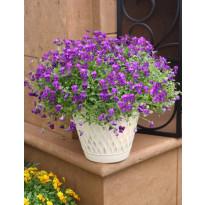 Amppeliorvokki Viheraarni, violetti