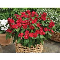 Punatalvio Viheraarni, Bright Red, 3 kpl/pak