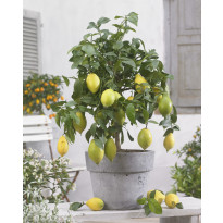 Sitruunapuu Viheraarni