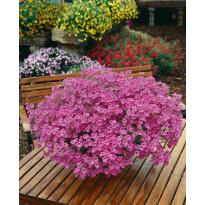 Amppelidiana Viheraarni, vaaleanpunainen, 3 kpl/pak