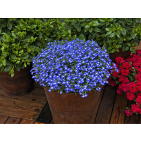 Lobelia Viheraarni, Techno Up Dark Blue