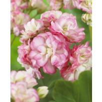 Ruusunnuppupelargoni Viheraarni, Apple Blossom