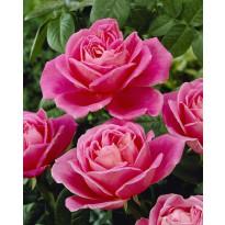 Jaloruusu Viheraarni, Pink Peace, 3 kpl/pak