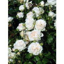 Peittoruusu Viheraarni, Aspirin Rose