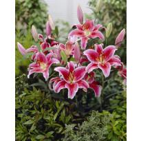 Oriental-lilja Viheraarni, Stargazer, 10 kpl/pak