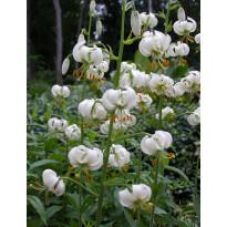 Varjolilja Viheraarni valkoinen