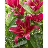 Oriental-lilja Viheraarni Bacardi, 10 kpl/pak