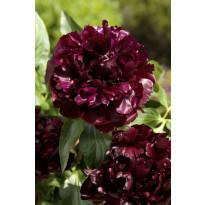 Kiinanpioni Viheraarni, Black Beauty, 3 kpl/pak