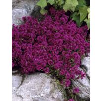 Ajuruoho Viheraarni, Purple Beauty, 6 kpl/pak