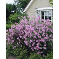 Myskimalva Viheraarni, vaaleanpunainen, 3 kpl/pak