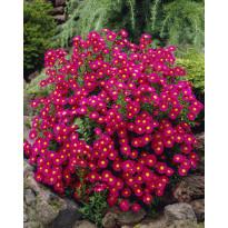 Syysasteri Viheraarni, Crimson Brocade, 3 kpl/pak