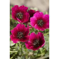 Harmaakurjenpolvi Viheraarni, Jolly Jewel Purple, 3 kpl/pak