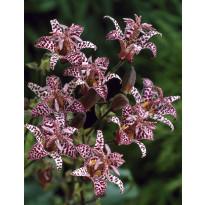 Kannuskonnanlilja Viheraarni, Purple Beauty, 3 kpl/pak