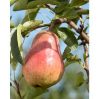 Päärynä Viheraarni Lada