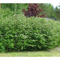 Marja-aronian aitataimet Viheraarni Viking, 10 kpl/pak