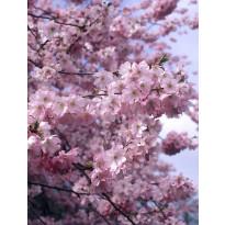 Koristekirsikka Viheraarni Kevätsuudelma