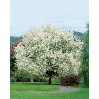 Marjaomenapuu Viheraarni