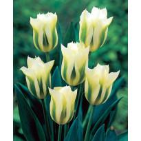 Tulppaani Viheraarni Spring Green, 10kpl/pak