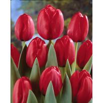 Darwintulppaani Viheraarni Red Impression, 20kpl/pak