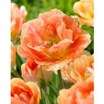 Kerrattu tulppaani Viheraarni Charming Beauty, 10kpl/pak