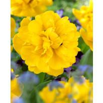 Kerrattu tulppaani Viheraarni Yellow Pompenette, 10kpl/pak