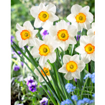 Tähtinarsissi Viheraarni Flower Record, 10kpl/pak
