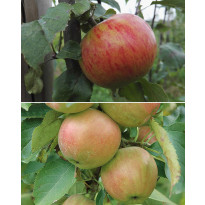 Omenapuu mix Viheraarni, 2 kpl/pak